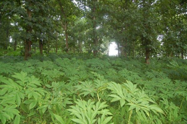 Porang plantation